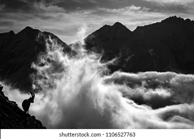 Alpine Ibex, animal in nature rock habitat, France. Night in the high mountain. Ibex silhouette with dark evening clouds in the Alps. Black and white art photo. Mountain landscape with mammal