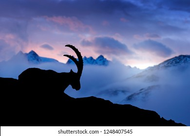 Alpine Ibex, animal in nature rock habitat, France. Twilight night in the high mountain. Ibex silhouette with dark evening clouds in the Alps. Mountain landscape with wild horn mammal, Europe wildlife