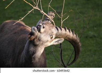 Alpine Ibex - Capra Ibex