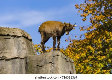 Alpine ibex (Capra ibex), aka Steinbock, Bouquetin, Natura Artis Magistra, Amsterdam, Netherlands