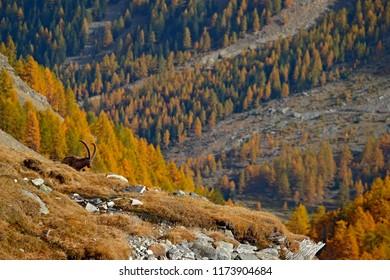 Alpine Ibex, Capra ibex, with autumn orange larch tree in hill background, National Park Gran Paradiso, Italy. Autumn landscape wildlife scene with beautiful animal. Mountain mammal in the Alp habitat