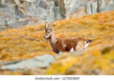 Alpine Ibex, Capra ibex, with autumn orange larch tree in hill background, National Park Gran Paradiso, Italy. Autumn landscape wildlife scene with beautiful animal.  Mountain mammal in Alp habitat.