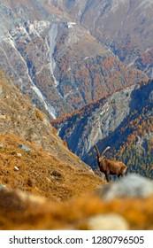 Alpine Ibex, Capra ibex, with autumn orange larch tree in hill background, National Park Gran Paradiso, Italy. Autumn landscape wildlife scene with beautiful animal. Mountain mammal in the Alp habitat