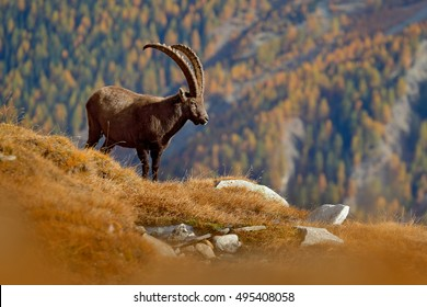 Alpine Ibex, Capra ibex, with autumn orange larch tree in background, National Park Gran Paradiso, Italy. Autumn landscape wildlife scene with beautiful animal.