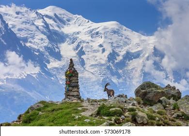 Alpine ibex (Capra ibex). In background Mont Blanc, France