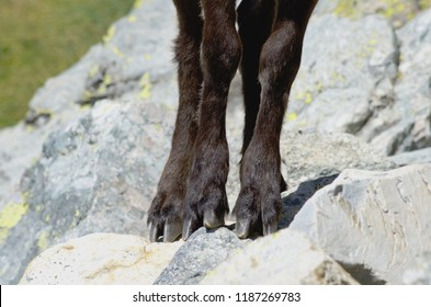 Alpine ibex (Capra ibex): detail of the paws and the hooves