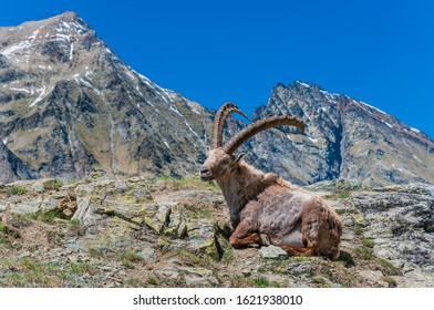 Alpine Ibex or Capra Ibex, Gran Paradiso National Park, Aosta Valley, Italy