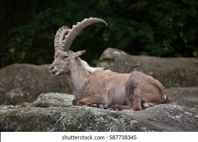 Alpine ibex (Capra ibex ibex), also known as the steinbock or bouquetin.