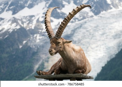 The Alpine ibex (Capra ibex), also known as the steinbock or bouquetin in Parc de Merlet on Pointe de Lapaz mountain against Mont Blanc, Les Houches, Haute-Savoie, France