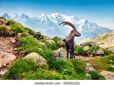Alpine Ibex (Capra Ibex) on the Mont Blanc (Monte Bianco) background. Misty summer morning in the Vallon de Berard Nature Reserve, Graian Alps, France, Europe.