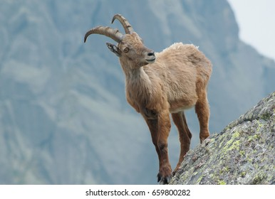 Alpine ibex (Capra ibex) on the rocks. It is also known as steinbock or bouquetin.