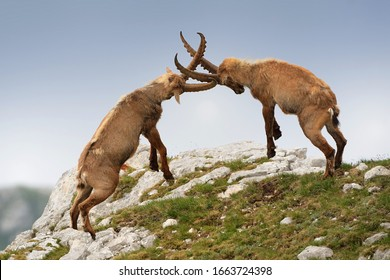 Alpine ibex - Capra Ibex pasturing and mating and dueling in Slovenian Alps. Typical horned animal of the high mountains.