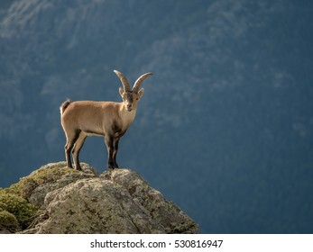 Alpine ibex (Capra pyrenaica) male on the top of the mountain in Guadarrama mountain range (Madrid, Spain)