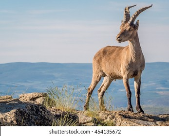 Alpine ibex (Capra pyrenaica) on the summit of the mountain against blue sky in Sierra de Gredos mountain range (Spain)