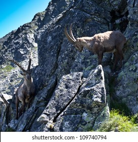 The Alpine ibex, (Capra ibex), is a species of wild goat that lives in the mountains of the European Alps.