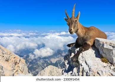 Alpine Ibex female lying on rocks on the Montagio (Montaz) mountain, Italy