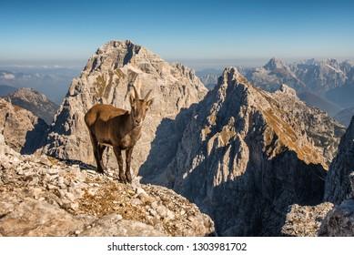 An alpine ibex framed in a Julian Alps mountain.