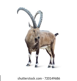 Alpine Ibex isolated on white background, Young alpine ibex male on the top of the mountain isolated on white background