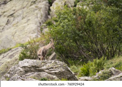 The Alpine ibex, also known as the steinbock or bouquetin, is a species of wild goat that lives in the mountains of the European Alps