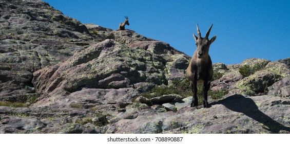 Alpine ibex looking at the camera on top of a peak on the Bergamo Alps, northern Italy