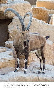 Alpine Ibex, mountain goats