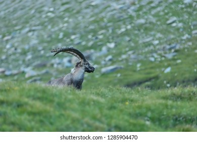 alpine ibex in the mountain meadow, wild alpine ibex in High Tauern mountains