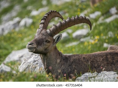 Alpine ibex playing and relaxing in the mountains in Julian Alps in Slovenia.