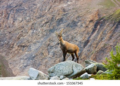 Alpine ibex (Steinbock) on a rock
