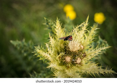 Alpine insect sitting on a thistle
