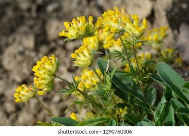 Alpine kidney vetch - Latin name - Anthyllis vulneraria subsp. alpestris