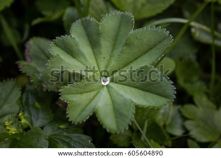 Alpine Ladys Mantle Alchemilla Alpina Leaf Water Stock Photo Edit - Alchemilla alpina