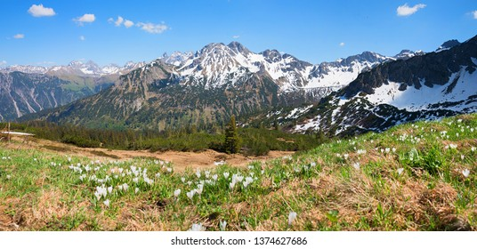 alpine landscape fellhorn mountain with white blooming crocus blossoms at view to the alps. early springtime allgau
