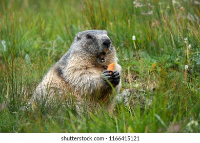 alpine marmot with a carrot in the claws making a warning cry - Großglockner Austria