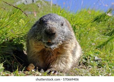 An alpine marmot and eats a nut