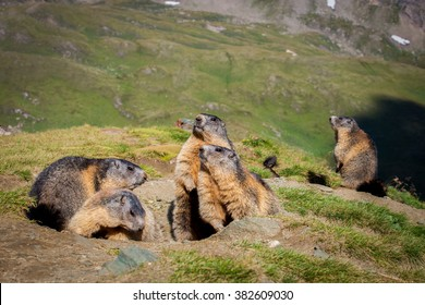 Alpine marmot - High Tauern National Park
