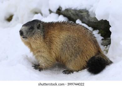 Alpine marmot in High Tauern, National Park, Austria, Europe, Marmota marmota