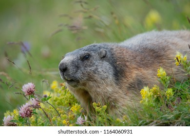 alpine marmot lying in a meadow between yellow rattleweed and red clover - Großglockner Austria