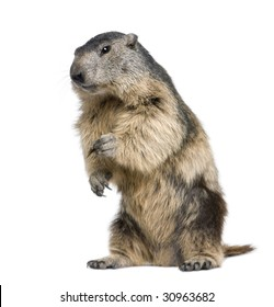 Alpine Marmot - Marmota marmota (4 years old) in front of a white background