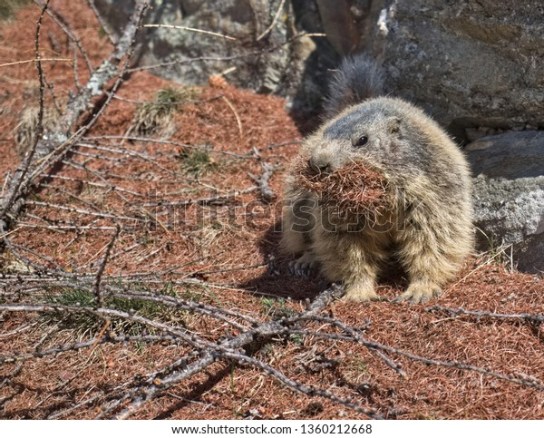 alpine-marmot-marmota-carrying-brown-600