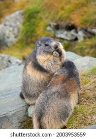 Alpine marmot (Marmota marmota) in the Hohe Tauern National Park (Hohe Tauern) Grossglockner area. Europe, Austria, Carinthia.