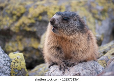 Alpine marmot ( Marmota marmota latirostris ) in the wild. Tatra Mountains.