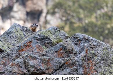 Alpine marmot (Marmota marmota) Marmotta