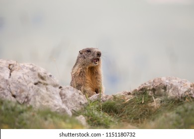 Alpine marmot (Marmota marmota) on the rock
