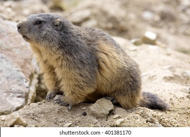 Alpine marmot, Marmota Marmota, one of the big rodent