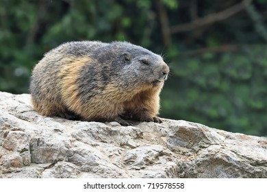 Alpine Marmot (Marmota marmota) resting on the rock