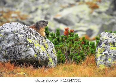 The alpine marmot (Marmota marmota) is a species of marmot found in mountainous areas. Summer. National park High Tatras, Slovakia.