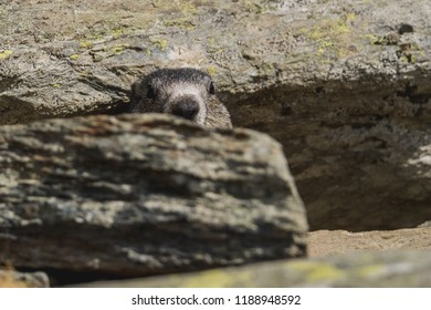 The alpine marmot (Marmota) is a species of marmot found in mountainous areas of central and southern Europe. Alpine marmots live at heights between 800 and 3,200 metres in the Alps, Carpathians.