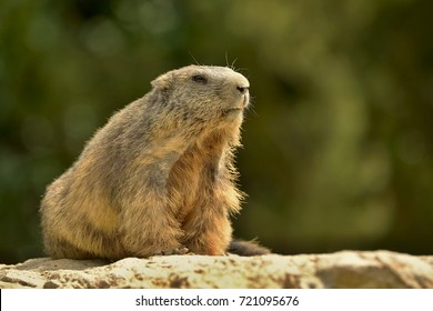 The alpine marmot (Marmota marmota) is a species of marmot found in mountainous areas of central and southern Europe. Alpine marmots live at heights