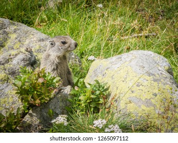 An alpine marmot (Marmota marmota) in the wild, on the lookout, standing looking out, one animal. Marmots use loud whistles to communicate with one another, especially when alarmed. Animal photos