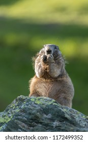 alpine marmot in the mountains, cute marmot in High Tauern